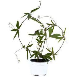 Passiflora błękitna sadzonka
