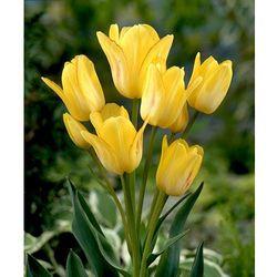 Tulipany wielokwiatowe 'sunshine-club' 7 szt marki Starkl