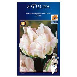 Tulipan Wczesny Finola, CJSU747