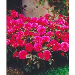 Starkl Róża rabatowa 'ingrid wendl®' 1 szt