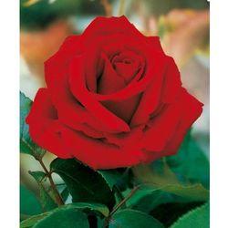 Starkl Róża wielkokwiatowa ´ingrid bergman®´ 1 szt