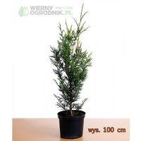 Żywotnik zachodni 'Brabant' - Tuja - produkt z kategorii- Rośliny