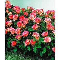 Róża rabatowa 'Bordüre Rose®' 1 szt