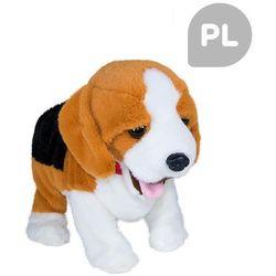 FIGO Piesek reagujący na komendy Beagle, Madej z Satysfakcja