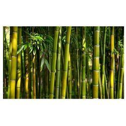 Fototapeta - azjatycki las bambusowy marki Artgeist