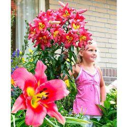 Starkl Gigantyczne lilie drzewiaste 'satisfaction' 2 szt
