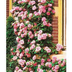 Starkl Róża pnąca 'coral dawn®' 1 szt