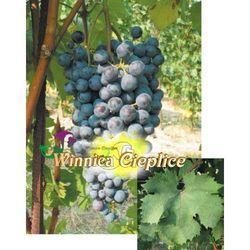 Sadzonki winorośli Dolcetto, VVR RSC 413