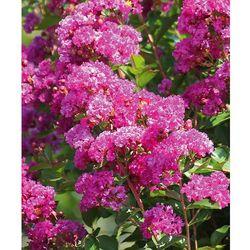 Starkl Lilak indiański 'violet d'ete' 1 szt