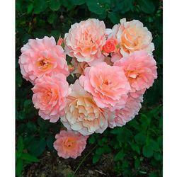 Róża rabatowa 'Bordüre Apricot®' 1 szt