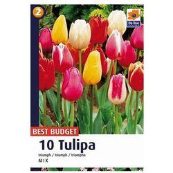 Tulipany Triumph, CJBB501