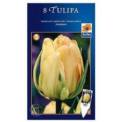 Tulipan Późny Akebono (8711148320159)