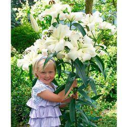 Gigantyczne lilie drzewiaste 'pretty woman' 2 szt marki Starkl