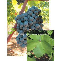 Sadzonka winorośli Primitivo