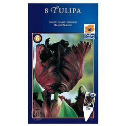 Tulipany Black Parrot, CJSU038