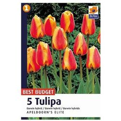 Tulipan Apeldoorns Elite, CJBB604