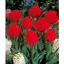 Tulipany botaniczne 'Princesse Charmante' 7 szt