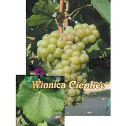 Sadzonka winorośli Pinot Bianco, VVR 089