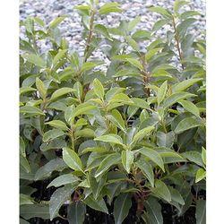 Laurowiśnia portugalska 'angustifolia' 1 szt marki Starkl