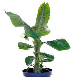 Bananowiec Musa Acuminata Dwarf Cavendish drzewko