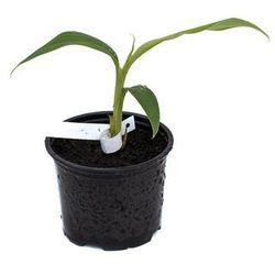 Bananowiec Musa Balbisiana var. Balbisiana sadzonka