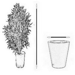 Bananowiec Ensete Ventricosum Large Seed sadzonka