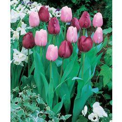 Tulipany triumph różowe i fioletowe 20 szt marki Starkl