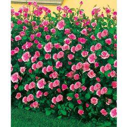 Róża rabatowa 'Queen Elizabeth®' 1 szt