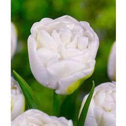 Starkl Tulipany pełnokwiatowe 'white heart' 5 szt