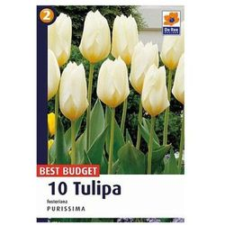 Tulipany Purissima, CJBB456