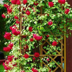 Verve Róża pnąca doniczka c2 mix