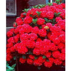 Hortensja ogrodowa ´Hot Red´ 1 szt