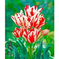 Starkl Tulipany wielokwiatowe ´flaming club´ 5 szt