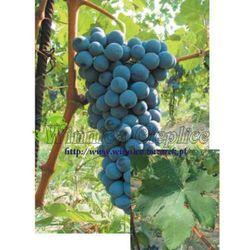 Sadzonka winorośli Barbera