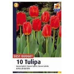 Tulipan Darwin Apeldoorn, CJBB453
