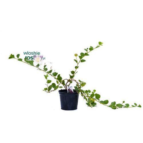 Zdjęcie produktu Kapary duża sadzonka