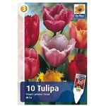 Tulipany Postrzępione, CJM225