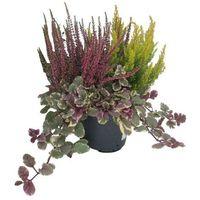 Rośliny jesienne mix 40-45 cm doniczka 17 cm (8718432964068)
