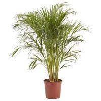 Palma Areca doniczka 24 cm