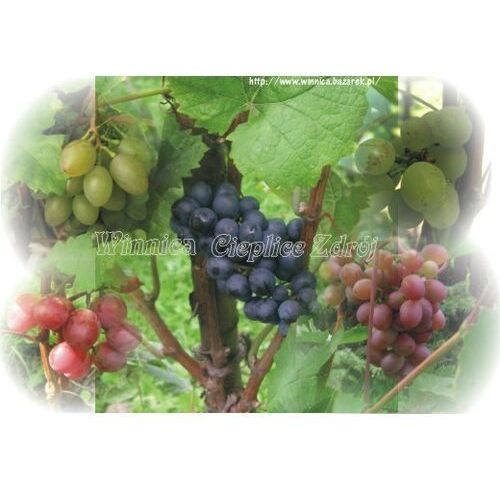 Winnica cieplice Sadzonka winorośli crimson seedless
