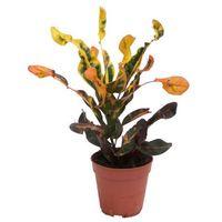 Codiaeum variegatum Mammi 40 cm doniczka 12 cm