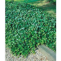 Sadzonki  STARKL Starkl - ogrodnik z Austrii