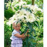 Starkl Gigantyczne lilie drzewiaste 'pretty woman' 2 szt