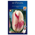 Tulipan Sorbet, CJSU019