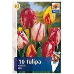 Tulipany Rembrandta, CJM239