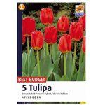 Tulipan Darwin, CJBB603