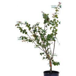 Pozostałe rośliny i hodowla   Włoskie rośliny