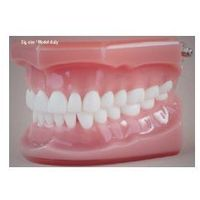 Model stomatologiczny zgryz idealny, baz różowa, duża
