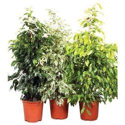 Pozostałe rośliny i hodowla   Castorama